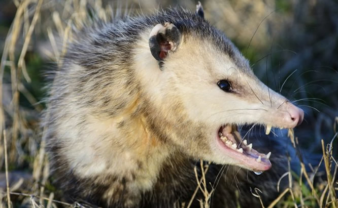Opossum Removal and Control