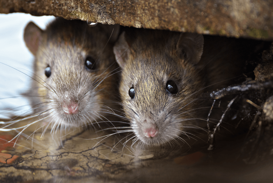 Rodent Control Removal