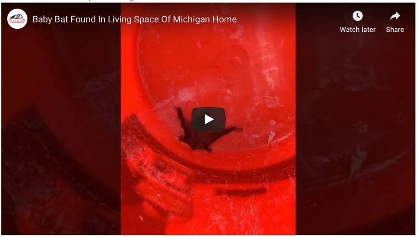 Baby Bat Found In Living Space Of Michigan Home
