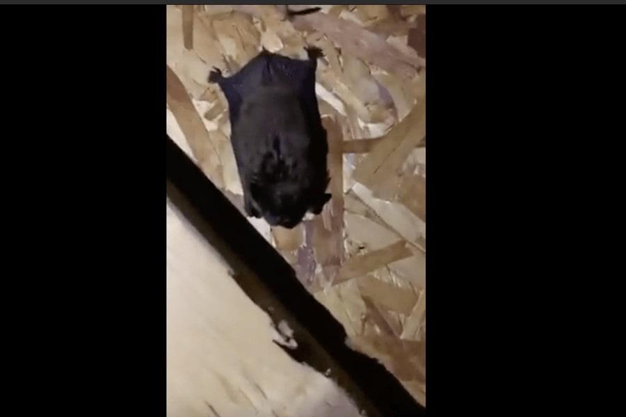Bats in Attic - Oakland Township, MI